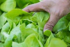Schließen Sie oben vom wachsenden Salatkopfsalat mit Handsammeln im Gemüse Stockfotos