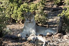 Schließen Sie oben vom weiblichen Löwe in Addo Elephant National Park, Südafrika Stockfotos