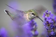 Schließen Sie oben vom weiblichen rufous Kolibri stockbilder