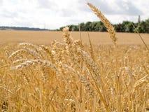 Schließen Sie oben vom Weizen Lizenzfreies Stockfoto