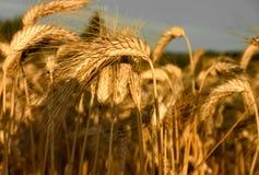 Schließen Sie oben vom Weizen in Barkway stockfotografie