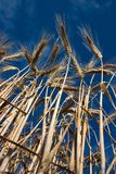 Schließen Sie oben vom Weizen in Barkway lizenzfreie stockfotografie