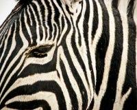 Schließen Sie oben vom Zebrakopf Stockbilder