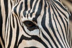 Schließen Sie oben vom Zebrakopf einschließlich Blickkontakt Stockfotos