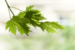 Schließen Sie oben vom Zweig mit Ahornblatt Lizenzfreie Stockfotografie