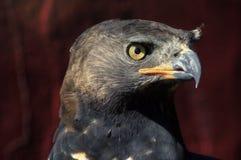 Schließen Sie oben von Afrikaner gekröntem Eagle Face Stockbild