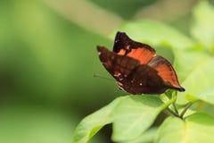 Schließen Sie oben von Autumn Leaf Doleschallia-bisaltide Lizenzfreie Stockfotos