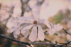 Schließen Sie oben von blühendem Gänseblümchen stockfotografie