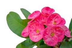 Schließen Sie oben von blühendem rosa Dornenkrone Blume Christus-Dorn Lizenzfreies Stockfoto