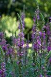 Schließen Sie oben von blühenden Lavendelblumen Stockfotografie