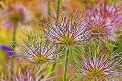 Schließen Sie oben von blühender Aster-Blume Stockbild