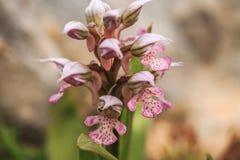 Schließen Sie oben von blühender sizilianischer wilder Orchidee lizenzfreie stockbilder