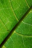 Schließen Sie oben von den Adern auf einem grünen Blatt Stockbild