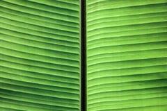 Schließen Sie oben von den Adern auf grünem Bananenblatt Stockfotografie