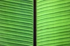 Schließen Sie oben von den Adern auf grünem Bananenblatt Lizenzfreies Stockfoto