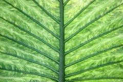Schließen Sie oben von den Adern auf grünem Blatt Stockfoto