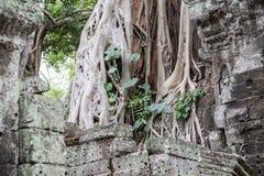 Schließen Sie oben von den Baumwurzeln, die alte Ruinen eines Siem- Reaptempels bedecken Lizenzfreie Stockfotografie
