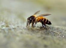 Schließen Sie oben von den Bienen Stockbild