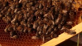 Schließen Sie oben von den Bienen, die über Bienenwaben auf einem Holzrahmen kriechen Landwirtschaftsimkereikonzept stock video footage