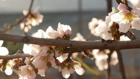 Schließen Sie oben von den blühendes Mandelbäumen stock video footage