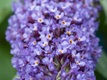 Schließen Sie oben von den blauen Buddleiablumen Stockfotografie