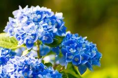 Schließen Sie oben von den blauen Hortensieblumen Stockbild