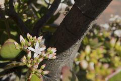 Schließen Sie oben von den Blumen auf einer Jadeanlage lizenzfreie stockbilder