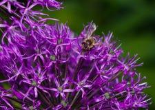 Schließen Sie oben von den Blumen einiger Schnittlauche Lizenzfreies Stockfoto