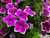 Schließen Sie oben von den bunten blühenden Petunienblumen, natürlicher Hintergrund stockfotos