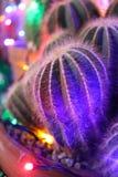 Schließen Sie oben von den eingemachten Kakteen, die mit farbigen feenhaften Lichtern verziert werden Stockfotos