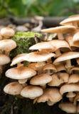 Schließen Sie oben von den essbaren Pilze Honigblätterpilzen Stockbild