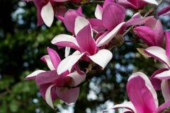 Schließen Sie oben von den Frühlings-Baum-Blüten Lizenzfreie Stockfotos