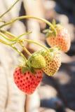 Schließen Sie oben von den frischen Erdbeeren Stockbilder