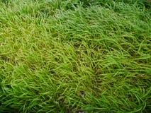 Schließen Sie oben von den frischen grünes Gras-Schilfen Stockfotos