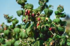 Schließen Sie oben von den frischen organischen Beeren mit grünen Blättern auf Himbeerstock Sommergarten im Dorf stockbilder