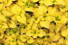 Schließen Sie oben von den gelben Blättern, Hintergrund Stockfotografie