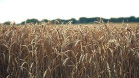 Schließen Sie oben von den gelben Gerstenpflanzen auf einem Weizengebiet bei Sonnenuntergang stock video