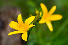 Schließen Sie oben von den gelben Lilienblumen Stockfotos