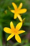 Schließen Sie oben von den gelben Lilienblumen Lizenzfreies Stockbild