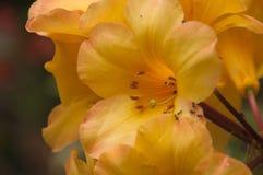 Schließen Sie oben von den gelben Rhododendronblumen Fräuleins Moffy lizenzfreies stockbild