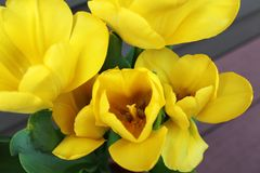 Schließen Sie oben von den gelben Tulpen, Draufsicht Lizenzfreie Stockbilder
