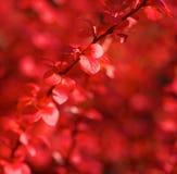 Schließen Sie oben von den glänzenden roten Blättern im Frühjahr Lizenzfreie Stockfotos