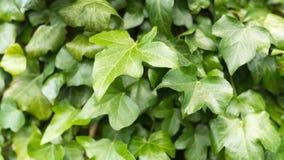 Schließen Sie oben von den grünen Blättern auf einem Busch stockfotos