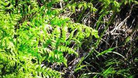 Schließen Sie oben von den grünen Blättern des grünen Farns Stockfoto