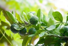 Schließen Sie oben von den grünen Kalken auf dem Baum mit Regentropfen Grüne Zitrusfrucht Lizenzfreie Stockfotografie
