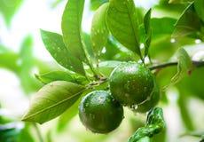 Schließen Sie oben von den grünen Kalken auf dem Baum mit Regentropfen Grüne Zitrusfrucht Stockfoto