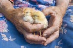 Schließen Sie oben von den Händen, die Huhn anhalten Lizenzfreies Stockbild