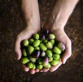 Schließen Sie oben von den Händen eines Mannes, die eine Handvoll Oliven halten Lizenzfreie Stockfotos