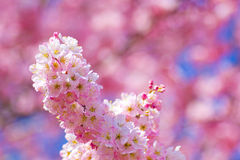 Schließen Sie oben von den Harumeki-Kirschblüten Lizenzfreies Stockfoto
