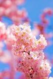 Schließen Sie oben von den Harumeki-Kirschblüten Lizenzfreie Stockfotos